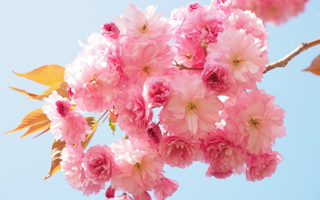 """Gesund & Glücklich- Yogabrunch- Sonntag """"Kirschblüte"""""""